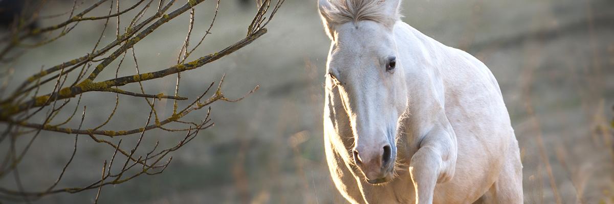 cheval blanc prairies élevage de biar montpellier lavérune